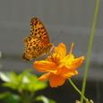 キバナコスモスとツマグロヒョウモン(♀)