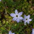 ハナニラ(花韮)