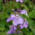 ムラサキハナナ(紫花菜)